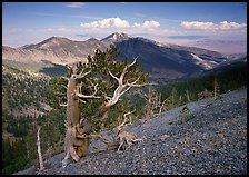 Bristelecone pines on Mt Washington, overlooking valley and distant ranges. Great Basin National Park, Nevada, USA.