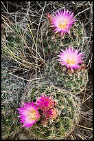 Cactus and pink blooms. Great Basin National Park ( color)