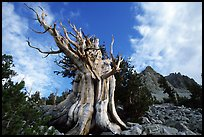 Bristlecone Pine tree, Wheeler Peak Basin, afternoon. Great Basin National Park, Nevada, USA. (color)