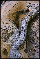 Bristlecone pine tree detail. Great Basin National Park, Nevada, USA. (color)