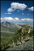 Bristlecone pine trees and Highland ridge, afternoon. Great Basin National Park, Nevada, USA. (color)