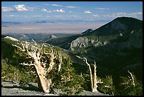 Bristlecone pine trees and Pole Canyon, afternoon. Great Basin National Park, Nevada, USA. (color)