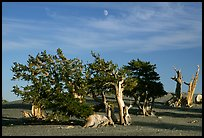Bristlecone Pine trees and moon, late afternoon. Great Basin National Park, Nevada, USA.