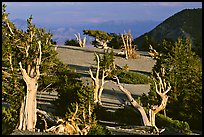 Grove of Bristlecone Pine trees, near Mt Washington late afternoon. Great Basin National Park ( color)