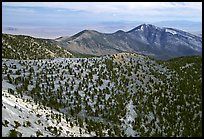 Mountains covered with Bristlecone Pines near Mt Washington, morning. Great Basin National Park, Nevada, USA. (color)