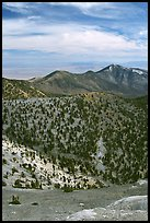 Slopes covered with Bristlecone Pine trees seen from Mt Washington, morning. Great Basin National Park, Nevada, USA.