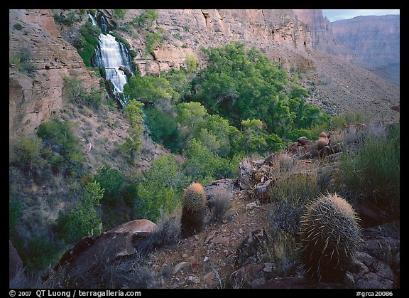 Barrel cacti and Thunder Spring, early morning. Grand Canyon  National Park (color)