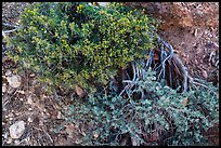 Ground close-up with shrubs and juniper. Grand Canyon National Park ( color)