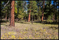 Flowers in Ponderosa pine forest. Grand Canyon National Park ( color)