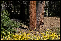Flowers and Ponderosa pine tree trunks. Grand Canyon National Park ( color)