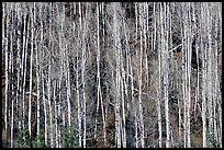Bare aspen trees on hillside. Grand Canyon National Park, Arizona, USA.