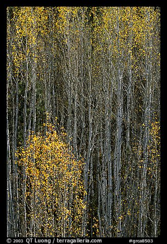 Tall aspens in autumn. Grand Canyon National Park (color)