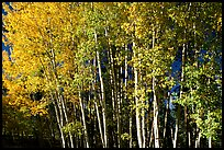 Aspens in  fall. Grand Canyon National Park, Arizona, USA.
