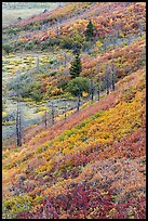 Fall color over shrub slopes. Mesa Verde National Park ( color)