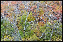 Twisted bare trees and brush with colorful fall foliage. Mesa Verde National Park ( color)