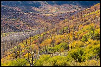 Canyon with burned trees and brush in fall colors. Mesa Verde National Park ( color)