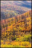 Burned forest and vividly colored shurbs in autumn. Mesa Verde National Park ( color)