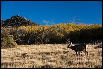 Deer and Gambel Oak. Mesa Verde National Park ( color)