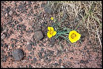 Ground view with wildflowers and black rock. Petrified Forest National Park ( color)