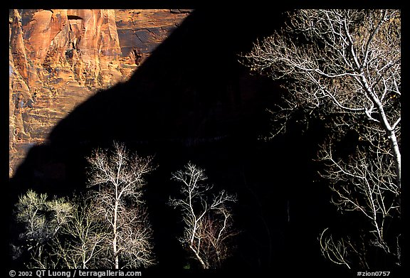 Bare cottonwoods and shadows in Zion Canyon. Zion National Park, Utah, USA.
