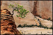 Lone pine on sandstone swirl and cliff, Zion Plateau. Zion National Park, Utah, USA.