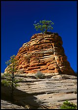 Moon and pine on red sandstone, Zion Plateau. Zion National Park ( color)