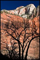 Bare trees and multicolored cliffs. Zion National Park, Utah, USA.