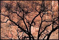 Dendritic pattern of tree branches against red cliffs. Zion National Park, Utah, USA.