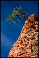 Tree growing out of twisted sandstone, Zion Plateau. Zion National Park ( color)