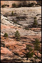 Pine trees and sandstone slabs, Zion Plateau. Zion National Park, Utah, USA.