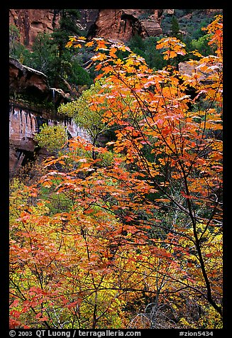 Cliff, waterfall, and trees in fall foliage, near the first Emerald Pool. Zion National Park, Utah, USA.