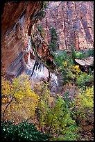 Rock wall and trees in fall colors, near the first Emerald Pool. Zion National Park, Utah, USA.