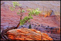 Pine tree and checkerboard patterns, Zion Plateau. Zion National Park, Utah, USA.