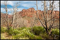 Wildflowers, burned trees, and cliffs, Grapevine. Zion National Park ( color)