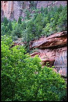 Cliffs above Emerald Pool and trees in springtime. Zion National Park ( color)