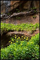 Flowers growing on ledges below alcove near Lower Emerald Pool. Zion National Park ( color)