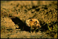 Prairie dog peeking out from burrow, sunset. Badlands National Park, South Dakota, USA.