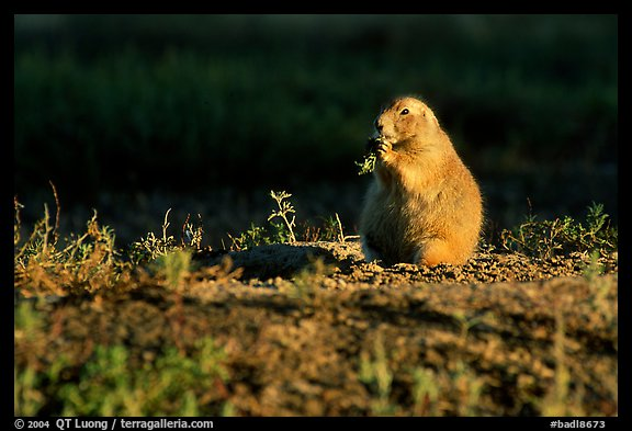Prairie dog standing, sunset. Badlands National Park, South Dakota, USA.