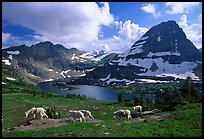 Mountain goats, Hidden lake and peak. Glacier National Park, Montana, USA. (color)