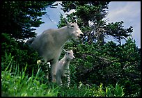 Two mountain goats in forest. Glacier National Park, Montana, USA. (color)