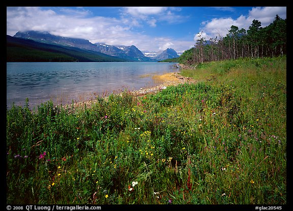 Wildflowers on shore of Sherburne Lake. Glacier National Park, Montana, USA.
