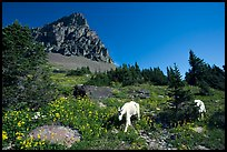Mountain goats in wildflower meadow below Clemens Mountain, Logan Pass. Glacier National Park, Montana, USA. (color)
