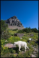 Mountain goat and cub in a meadown below Clemens Mountain, Logan Pass. Glacier National Park, Montana, USA. (color)
