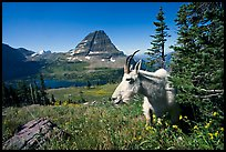Mountain goat, Hidden Lake and Bearhat Mountain behind. Glacier National Park ( color)