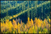 Aspen in autumn foliage and forested hillside, North Fork. Glacier National Park ( color)