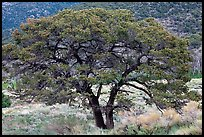 Pinyon pine tree. Great Sand Dunes National Park and Preserve, Colorado, USA.