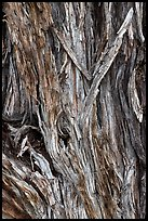 Bark detail of Pinyon pine trunk. Great Sand Dunes National Park and Preserve, Colorado, USA.