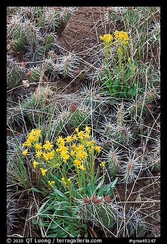 Yellow flowers and cactus. Great Sand Dunes National Park, Colorado, USA.