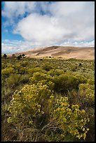 Rubber rabbitbrush. Great Sand Dunes National Park, Colorado, USA. (color)