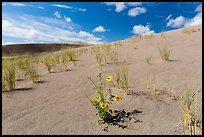 Prairie sunflowers and blowout grasses on sand dunes. Great Sand Dunes National Park, Colorado, USA. (color)